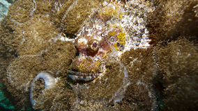 Stone fish Camouflage on the reef Royalty Free Stock Images