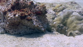 Stone fish underwater on a sandy bottom in ocean of wildlife Philippines stock video