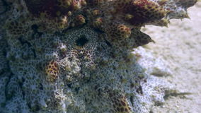 Stone fish underwater on a sandy bottom in ocean of wildlife Philippines stock video footage