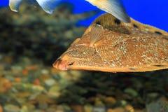 Stone flounder Royalty Free Stock Photos