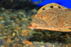 Stone flounder Royalty Free Stock Photography