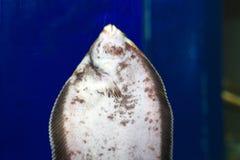 Stone flounder Stock Photos