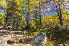 Alpe devero autumnal mountain landscape. A stone footpath inside a larches trees forest with a blue sky in the background inside the Alpe Devero royalty free stock images