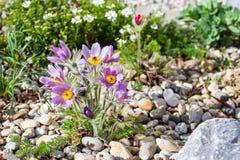 Stone garden with pasque flower Royalty Free Stock Photos