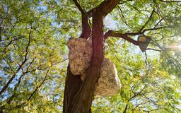 Stone. Giant stone located on tree in Boston Royalty Free Stock Photography