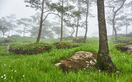 Stone ground at pine forest, wild flowers field and morning fog, Bolaven, LAO Stock Images