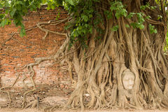 Stone head of Buddha in bodhi tree's roots Royalty Free Stock Photography