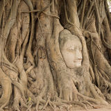 Stone head of Buddha nestled in the embrace of bodhi tree's root Royalty Free Stock Image