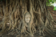Stone head of Buddha nestled in the embrace of bodhi tree's root Stock Photo