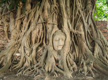 Stone head of Buddha nestled in the embrace of bodhi tree's root Royalty Free Stock Photography