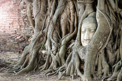 Stone head of Buddha in the root tree Royalty Free Stock Image