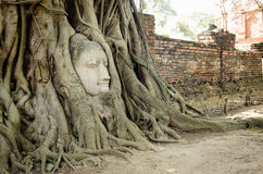 The stone head of buddha in the root tree Stock Photography