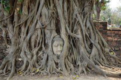 Stone head of buddha in root tree of Wat Mahathat Stock Photo
