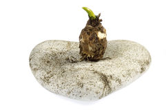 Stone heart and baby plant. power of love. Stone heart and bulb isolated on white Stock Photography