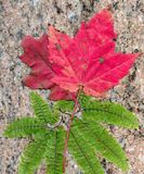 Stone maple Royalty Free Stock Images