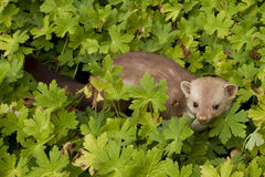 Stone-marten Royalty Free Stock Photo