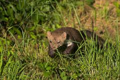 Stone marten. Returning from a night of hunting Stock Image