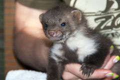 A stone marten baby in hand Stock Photo