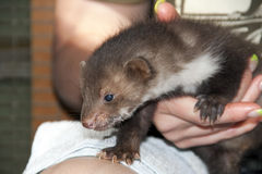 A stone marten baby in hand Royalty Free Stock Images