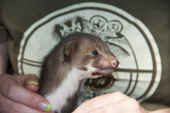 A stone marten baby in hand Stock Image