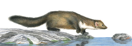 Stone marten hunting - artwork. A stone marten hunting - Artwork made with coloured pencils royalty free illustration