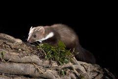 Stone Marten - Martes foina,branches of a tree, nocturnal mammal. Stone Marten - Martes foina, between the branches of a tree, nocturnal mammal stock photos
