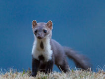 Stone marten (Martes foina) Stock Photo