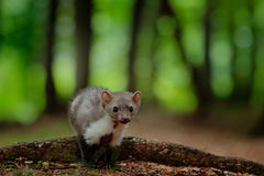 Stone marten, Martes foina, with green forest background. Beech marten, detail portrait of forest animal. Small predator in the na Stock Image
