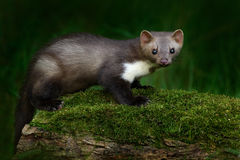 Free Stone Marten, Martes Foina, With Clear Green Background. Beech Marten, Detail Portrait Of Forest Animal. Small Predator Sitting On Royalty Free Stock Photography - 80569387