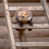 Stone marten sitting on ladder. Stone Marten (Martes foina) also known as Beech Marten or House marten. Sitting and looking on a ladder to an attic Stock Images