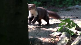 Stone marten - in summer stock video footage