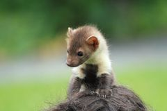 Stone marten Stock Photos