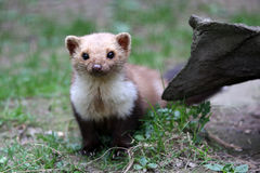 Stone Marten Stock Images