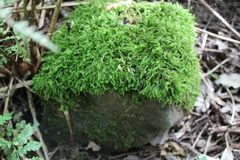 Stone with mosses and plant life in woodland. Stone covered in mosses with plantlife Royalty Free Stock Images