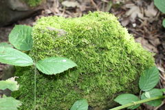 Stone with mosses and plant life in woodland. Stone covered in mosses with plantlife Stock Photography