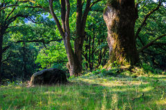 Stone near a tree in the forest. horizontal Royalty Free Stock Photography