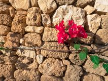 Stone old wall with bougainvillea flowers. Stone wall with bougainvillea flowers royalty free stock image