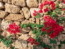 Stone old wall with red bougainvillea flowers. Stone wall with bougainvillea flowers stock image