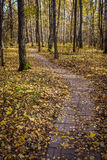 Stone Path through birch forest in fall. A stone path through the birch forest in the autumn in the setting sun Stock Images