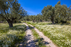 Stone path through olive grove Stock Images