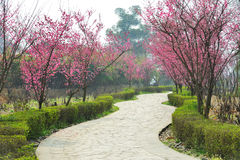 Stone path with plum blossom. Stone path with pink plum blossom  flowers tree Royalty Free Stock Image