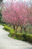 Stone path with plum blossom. Stone path with pink plum blossom  flowers tree Stock Image