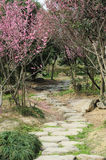 Stone path with plum blossom. Stone path with pink plum blossom  flowers tree Royalty Free Stock Images