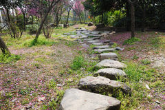 Stone path with plum blossom. Stone path with pink plum blossom  flowers tree Royalty Free Stock Photo