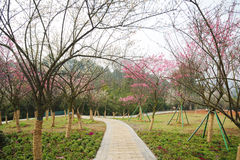 Stone path with plum blossom. Stone path with pink and white plum blossom  flowers tree Royalty Free Stock Photography