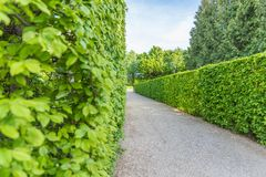 Stone pathway between hedge. Tall hedge with gravel pathway stock photography
