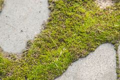 Stone paving slabs of green moss close up.  Royalty Free Stock Photos