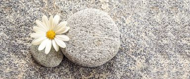 Stone and pebble panoramic background with a daisy royalty free stock images
