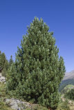 Stone pine Royalty Free Stock Photos
