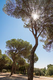 Stone pine. Backlight with clear sky Stock Photography